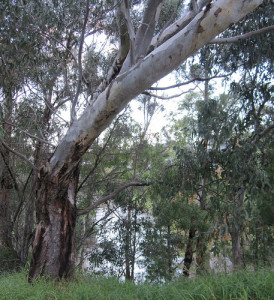 Banks of the Yarra off Trenerry Crescent 52/20/3 by Collingwood Historical Society